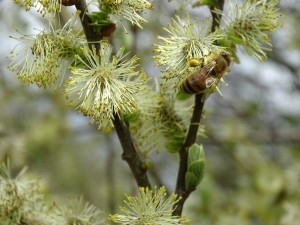 Op 27 april 2015 vlogen de bijen druk op de wilg