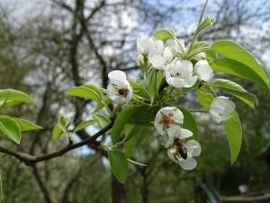 Perenbomen uit onze tuin worden ook druk bezocht