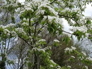 Onze boomgaard komt in volle bloei ( perenboom)